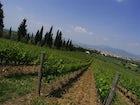 Vineyards  Poggio Arioso