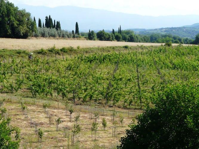 Vineyard Poggio Cennina